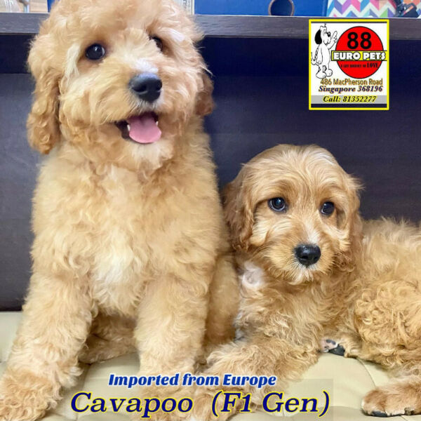 Cavapoo (Imported from Europe) Puppies for Sale Call 81352277