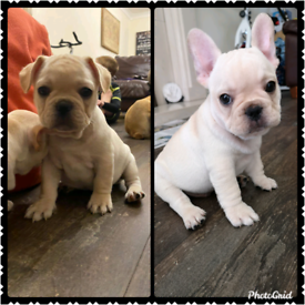 KC Reg French Bulldog Puppies. Ready Now!