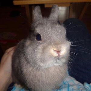 Netherland Dwarf rabbits and accessories