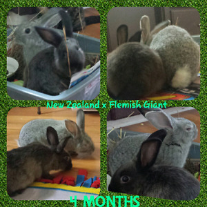 2 female rabbits 4 months old