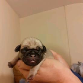 Full Breed Pug Pups