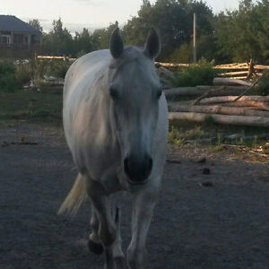 Registered Quarter Horse Mare Peterborough Peterborough Area image 3