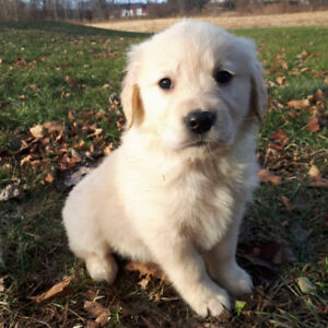 Golden retriever puppies, pure bred, ready to go!