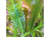 Fast Growing Algae.Macro Algae for the Marine Tank, Seahorse & Reef Tank. Beautiful as Coral Frags !