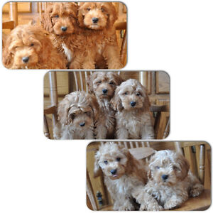 8 Red Cockapoo Puppies