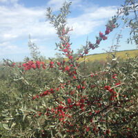 Buffaloberry for fresh or baking/cooking/canning or pureeing