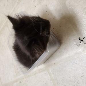 Kittens for sale ! 1 male 2 females