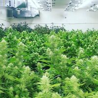 Let Us Teach You How To Grow Your Own Top Shelf Cannabis