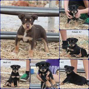 Purebred Kelpie female pup. **SOLD** York York Area Preview