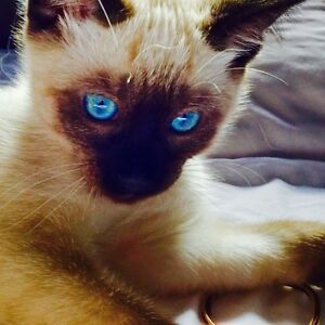 SIAMESE KITTIES FOR SALE (PAIRS ONLY 450$)
