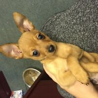 Male Chihuahua Puppy Looking for new home!