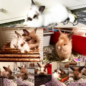 Baby bunnies rabbits purebred Lionheads READY TO GO !!