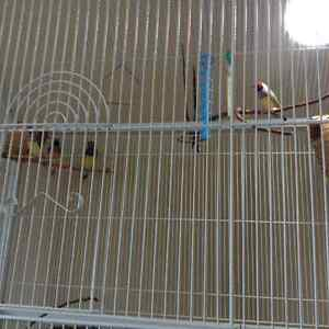 Cage and 4 gouldian finches