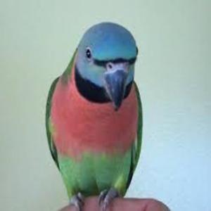 Female Moustache parrot