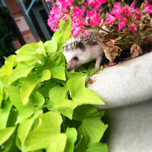 Male African Pygymy Hedgehog in Need of new home