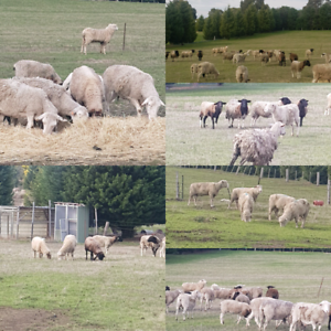 Sheep and lamb for sale | Livestock | Gumtree Australia Whittlesea