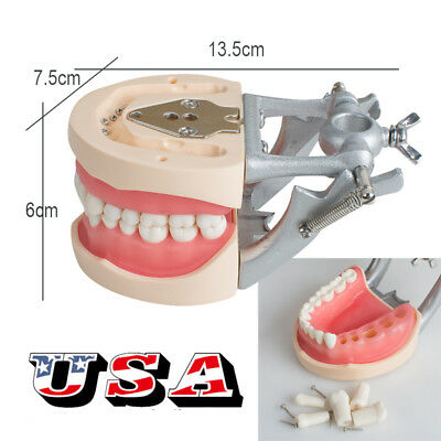 Us Dental Typodont Model 200h Type With Removable Teeth Standard Teaching Model