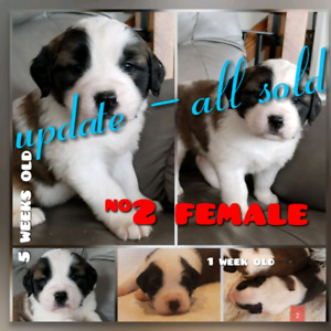 All sold! Pure Bred St/Saint Bernard Pups Ready to go March 21.