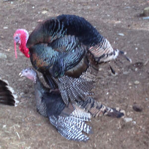 Blue Slate and Ridley Bronze turkey poults