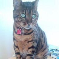 Bengal Cat to rehome