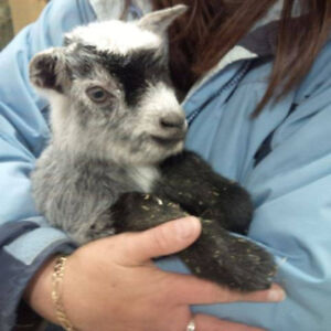 Mama and 6 month old Baby Pygmy Goat-price reduced
