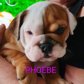 Bulldog Puppy For Sale