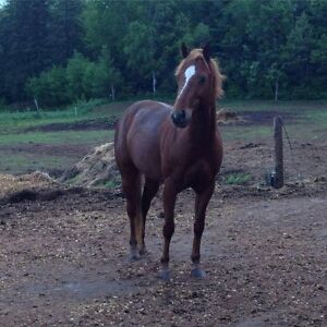 Large Pony For Sale