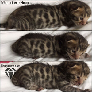 6 Bengal, Brown Blue Silver TICA Registered for breeding WOW