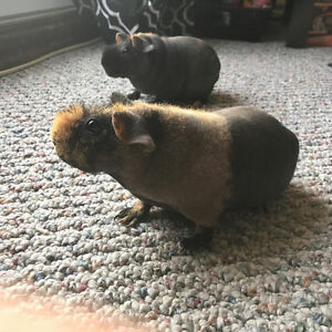 2 Female Skinny Pigs for Sale