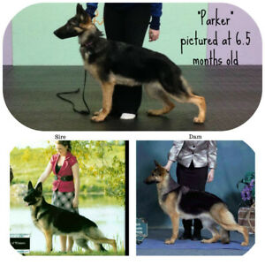 CKC REG'D GERMAN SHEPHERD FEMALE PUPPY