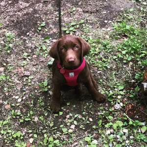 CKC REGISTERED SILVER AND CHOCOLATE LAB PUPPIES