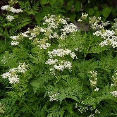 250 Anise Seeds Culinary Garden Herb  Pimpinella Anisum w/Gift