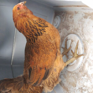 FS 6 month old Ameracana hen