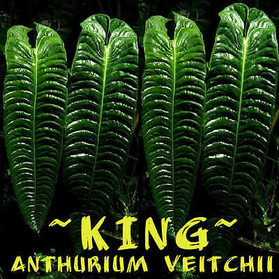 King Anthurium   Spectacular Anthurium Veitchii Live Sml Sz Potd Plant 6 9 In