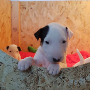 English bull terrier puppies for sale