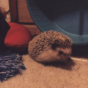 1 1/2 year old male hedgehog for sale