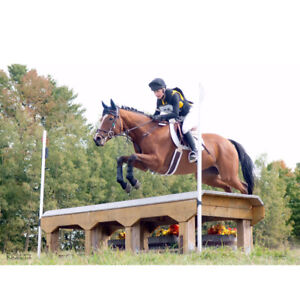 Bomb Proof Eventing Horse, 11 Years old, TB Gelding