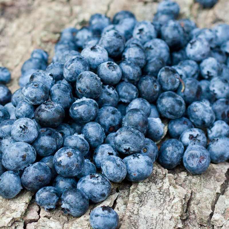 "2 Jersey Blueberry Bushes 36"" / SOLD OUT / PRE-ORDER FOR SPRING 2017"