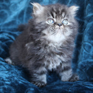 CFA/CCA SPAYED/NEUTERED REGISTERED PERSIAN KITTENS AVAILABLE