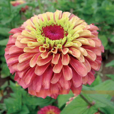 Double Queen Red Zinnia Flower Seed Cut Flowers Large Blooms 50 Seeds/Pack for sale  Shipping to Canada