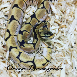 Male Orange Dream Spider