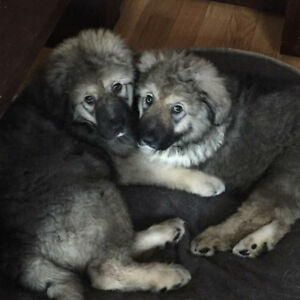 Planned Breeding - Caucasian Shepherds