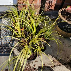 Variegated ornamental grasses