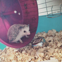 Hedgehog for sale - with a complete owners kit