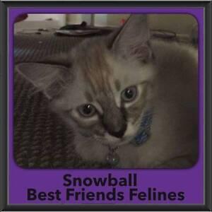 Snowball - Best Friends Felines Shailer Park Logan Area Preview