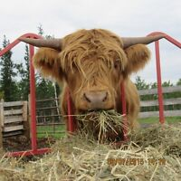Yearling Highland Cattle for Sale
