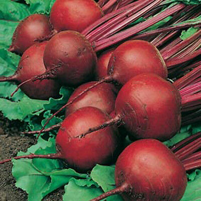 RED ACE HYBRID BEET SEEDS * 100 COUNT PKT. * DROUGHT TOLERANT *