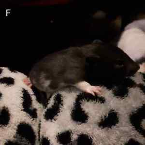 Rat babies FOR PETS ONLY Kitchener / Waterloo Kitchener Area image 2
