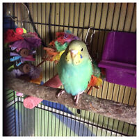 Green budgie for adoption