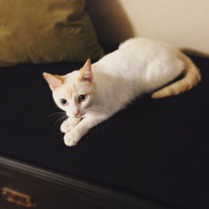 1 year old Flame Point Siamese